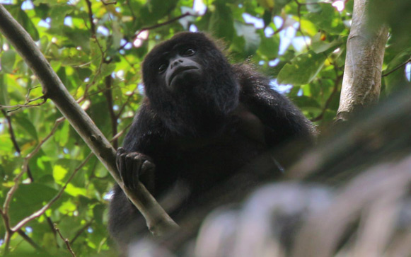 howler monkey placencia